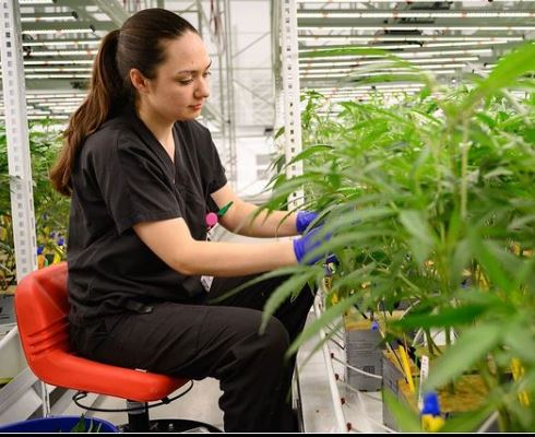 LED-Beleuchtung für Cannabis: Die Effizienzsteigerung liegt im Detail